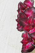 image of gladiolus  - beautiful maroon gladiolus on a wooden background - JPG