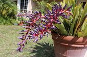 picture of bromeliad  - a picture of a blooming bromeliad plant - JPG