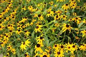 image of black-eyed susans  - a picture of a garden of black - JPG