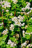 stock photo of buckwheat  - White flowers of buckwheat on the background of green leaves on the buckwheat field - JPG