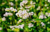image of buckwheat  - White flowers of buckwheat on the background of green leaves on the buckwheat field - JPG
