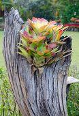 picture of bromeliad  - bromeliad growing on stump - JPG
