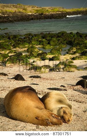 Cute sea lions sleeping in La Loberia beach, San Cristobal, Galapagos Islands