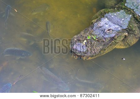 Alligator head shot in river