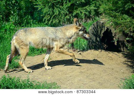 Wild Wolf In Poland