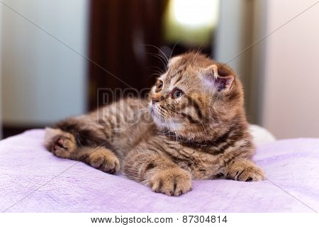 Scottish Kitten Lying On A Pink Pillow At Home
