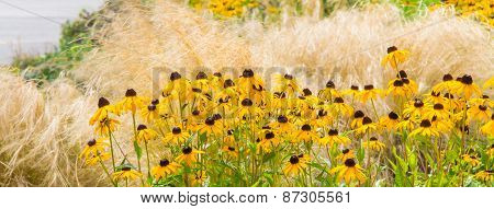Swath Of Black-eyed Susans