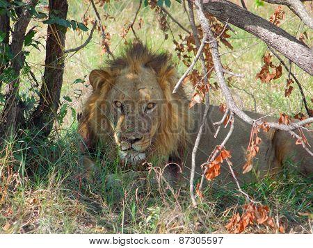 Resting Lion In Botswana