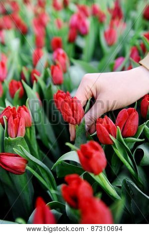 Hand In A Field Of Red Tulips