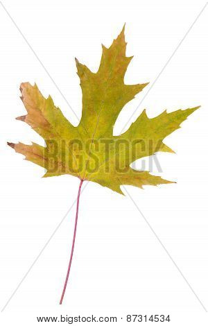 Green-yellow Leaf As Autumn Symbol