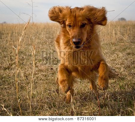 Energetic golden retriever in mid run