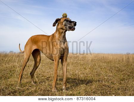 Silly great Dane with yellow ball on top of head