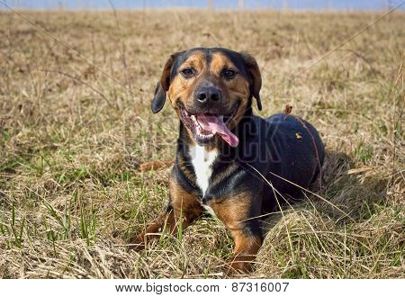 Little black dog in field sticking tongue out