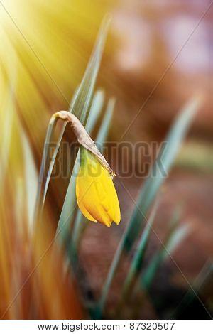 Sunlight Over Fragile Narcissus Flower