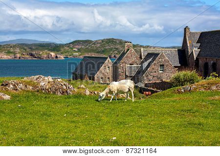 Sheep in Iona island in the Inner Hebrides off the Ross of Mull on the western coast of Scotland