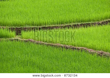 Green Ricefield