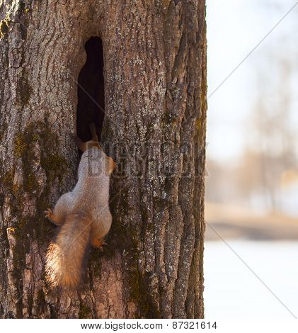 Red Squirrel , Looks Into The Hollow