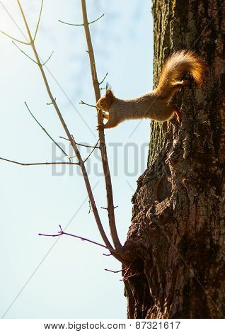 Red Squirrel Jumping On A Tree Branch