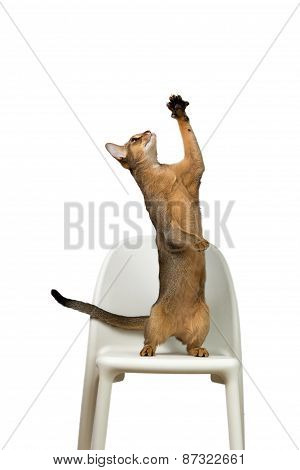 Abyssinian Cat Plays Standing On Its Hind Legs On A Chair