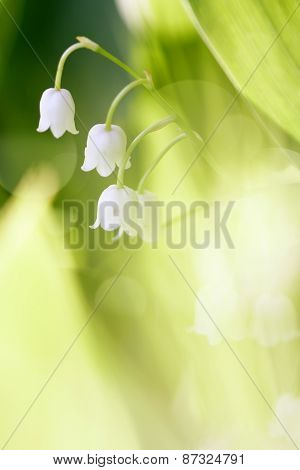 Forest Lilies Of The Valley.