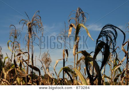 Dried Corn Field