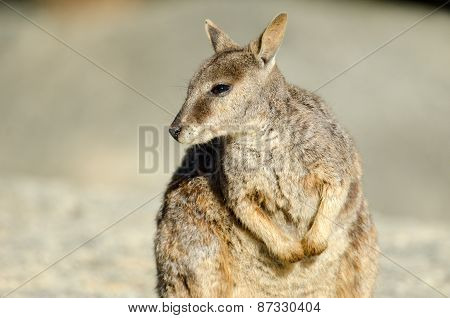Rock Wallaby Portrait Closeup