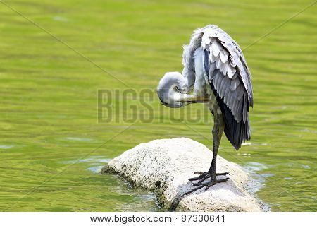 Grey heron near the pond.