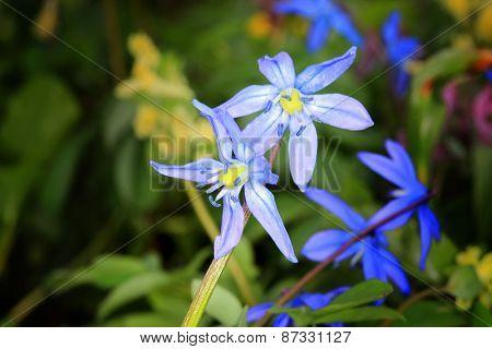 Nice spring flowers - Scilla Bifolia