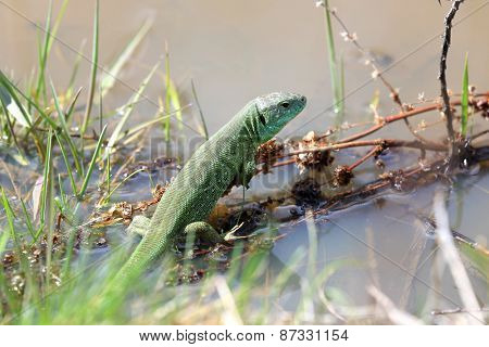 Green lizard in wet meadow