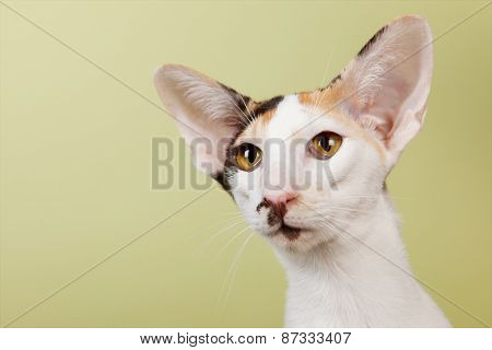 Oriental Shorthair cat on green background