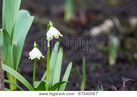 Two Small Flowers Of A Snowdrop