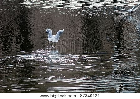 White Seagull Flies Over Water