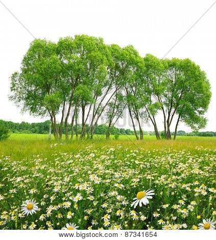 Field of marguerites with trees on white background. Spring landscape.