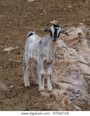 Majorera goat native to Fuerteventura