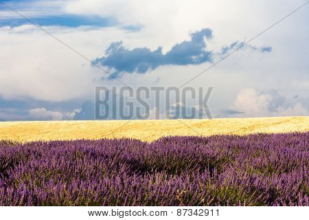 lavender and grain field, Provence, France