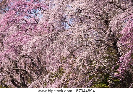 Cherry blossom in full bloom. Focus is on the center flowers.