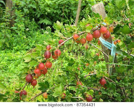 Gooseberry Bush In The Garden