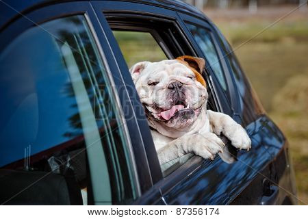 happy english bulldog in a car window