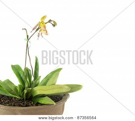 Pot Of Lady Slipper Orchids
