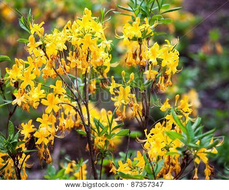 Rhododendron Yellow Flowers