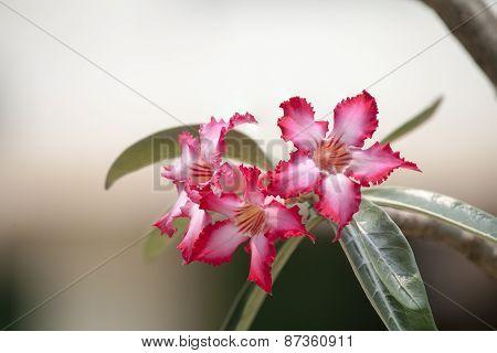 Desert Rose; Impala Lily; Mock Azalea