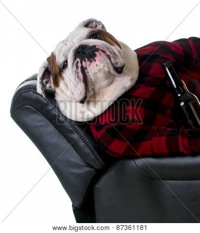 drinking dog - bulldog dressed like a man laying in a recliner with a beer on white background