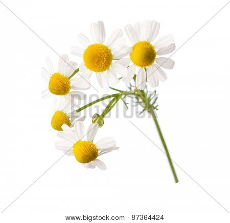 Chamomiles  isolated on white background.