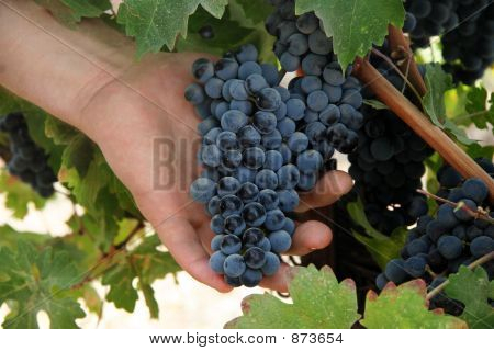 Uvas de explotación de la mano
