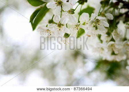 Lovely Apple Blossom