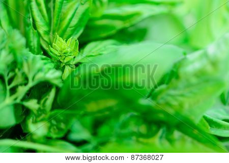 Fresh Basil Leaves Background
