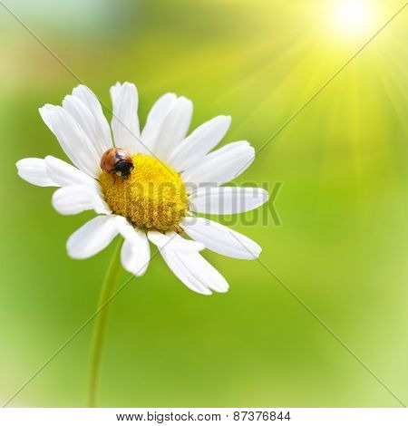 White Daisy With Red Ladybug