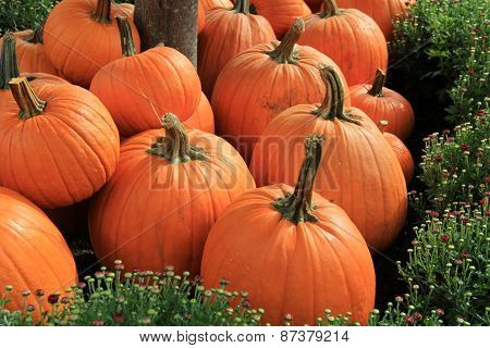 Gorgeous Fall Pumpkins nestled in bed of Hardy Mums
