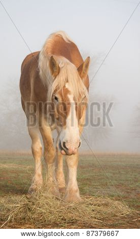 Belgian draft horse eating his morning hay in heavy fog