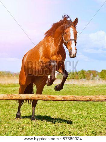 Bay Horse Jumping Over A Hurdle Riderless